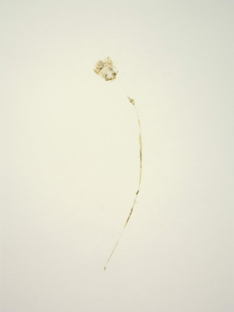 Crepis biennis No.1B