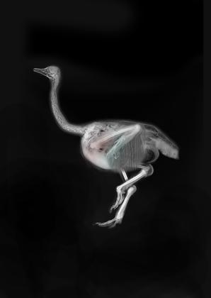 Toni Gallagher  X-Rayed Ostrich, 2014  Copyright Toni Gallagher