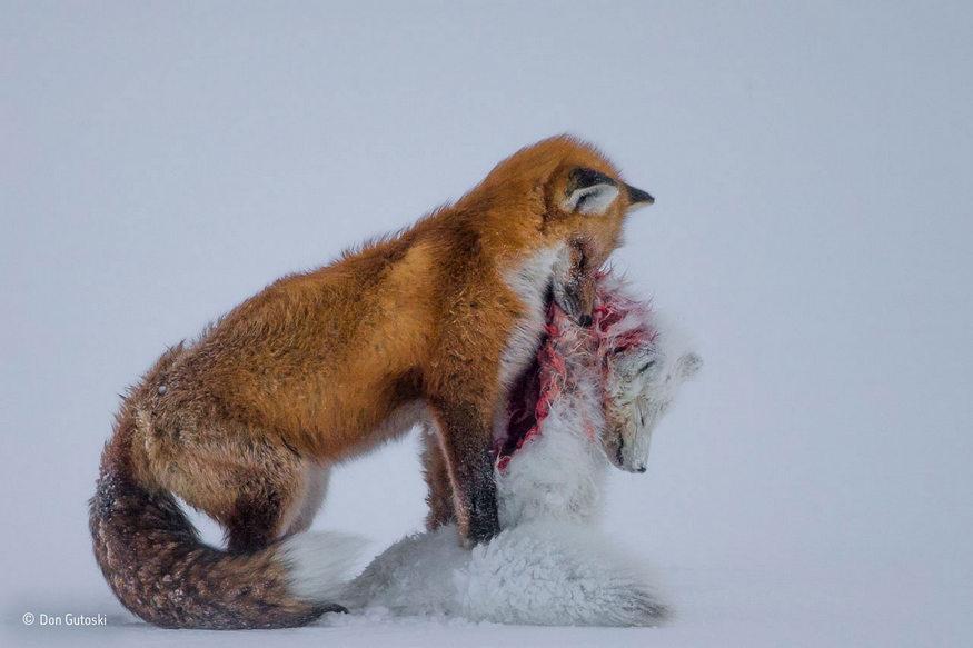 don-gutoski-_wildlife_photographer_of_the_year