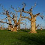 Petrified Oak Forest of Mundon, Essex © Glyn Baker