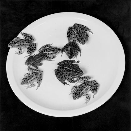 robert-mapplethorpe-frogs